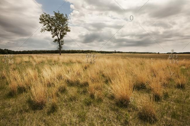 Winnipeg, Manitoba, Canada - June 13, 2015: Lone Tree In Grassy Field; Winnipeg, Manitoba, Canada