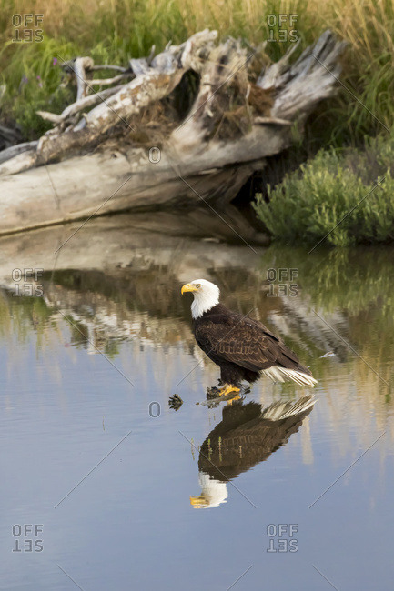 Alaska, United States of America - June 3, 2016: Bald Eagle (Haliaeetus Leucocephalus) Perched In Pond, South-Central Alaska; Alaska, United States Of America