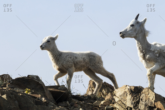 Alaska, United States of America - June 22, 2016: Dall Sheep (Ovis Dalli) Ewe And Lamb South Of Anchorage Near Windy Point At Mile 106 Seward Highway; Alaska, United States Of America