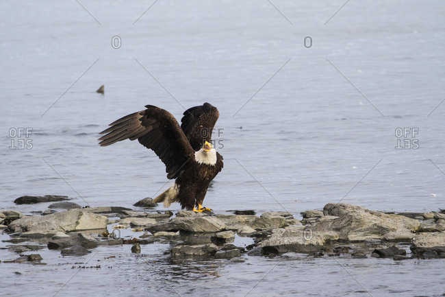 Alaska, United States of America - July 12, 2016: A Mature Bald Eagle (Haliaeetus Leucocephalus) Sits On Shoreline And Fends Off Other Eagle While Fishing For Salmon At The Fish Hatchery, Allison Point, Outside Of Valdez; Alaska, United States Of America