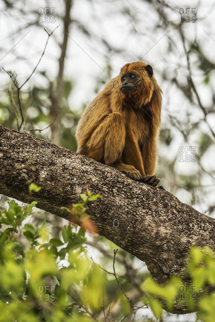 Mato Grosso do Sul, Brazil - September 6, 2016: Black Howler Monkey (Alouatta Caraya) Turning Head While Sitting On Tree Branch; Mato Grosso Do Sul, Brazil
