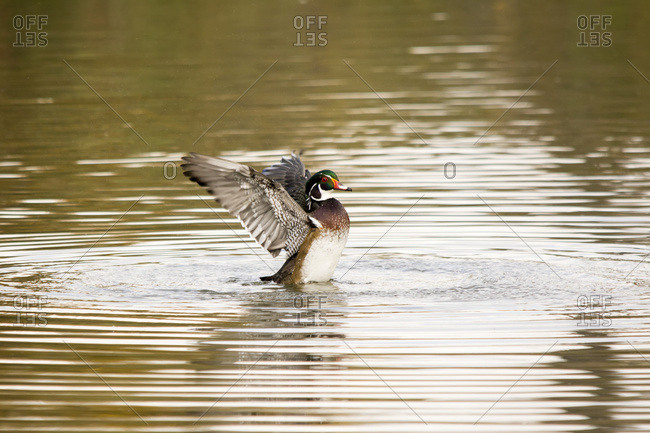 Calgary, Alberta, Canada - September 21, 2016: Wood Duck (Aix Sponsa) Flapping Its Wings In The Middle Of A Lake; Calgary, Alberta, Canada