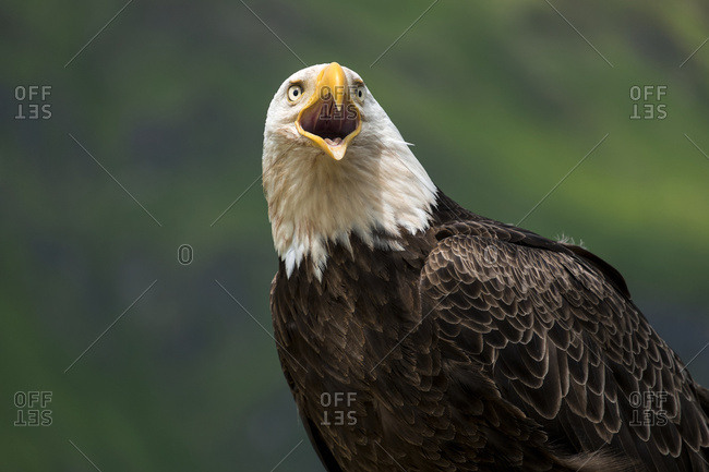 Unalaska, Alaska, United States of America - July 3, 2013: Close Up Of The Head And Beak Of A Bald Eagle (Haliaeetus Leucocephalus) Calling; Unalaska, Alaska, United States Of America