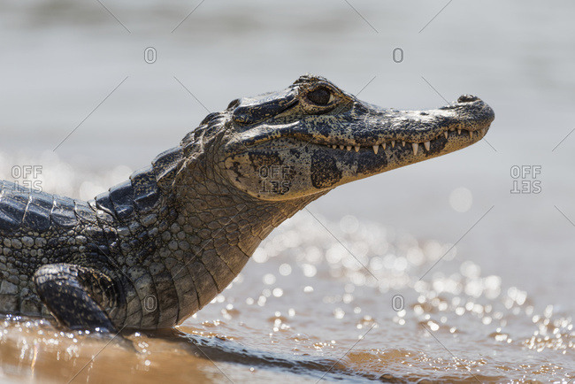 Mato Grosso do Sul, Brazil - September 9, 2016: Close Up Of Yacare Caiman (Caiman Yacare) With Backlit Waves; Mato Grosso Do Sul, Brazil