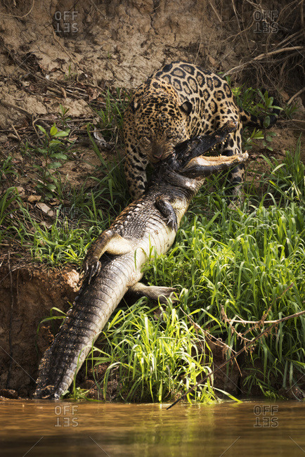 Mato Grosso do Sul, Brazil - September 8, 2016: Jaguar (Panthera Onca) Hauling Yacare Caiman (Caiman Yacare) Out Of Water; Mato Grosso Do Sul, Brazil