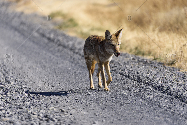 Frenchglen, Oregon, United States of America - September 15, 2016: A Coyote (Canis Latrans) Trots Along The Road In Eastern Oregon; Frenchglen, Oregon, United States Of America