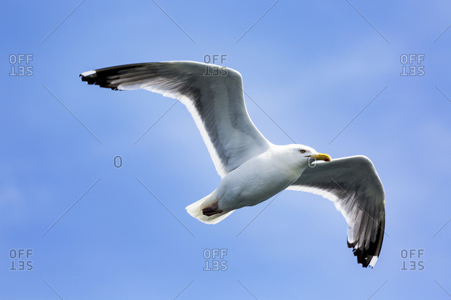 Seal Cove, New Brunswick, Canada - August 16, 2016: Close Up Of Seagull In Flight With Blue Sky; Seal Cove, New Brunswick, Canada