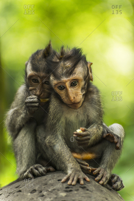 Ubud, Bali, Indonesia - February 6, 2016: Two Monkeys Sits Closely Together On A Rock, Monkey Forest; Ubud, Bali Island, Indonesia