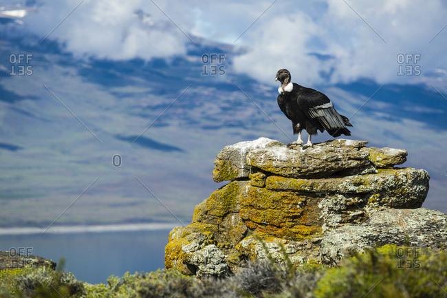 Torres del Paine, Magallanes, Chile - December 17, 2015: Andean Condor (Vultur Gryphus), Torres Del Paine National Park, Chilean Patagonia; Torres Del Paine, Magallanes, Chile