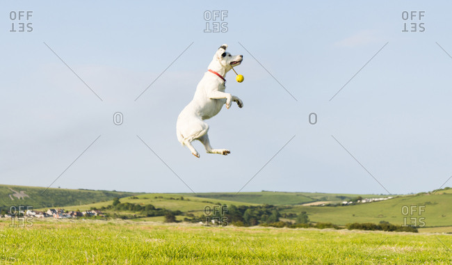 A beautiful white dog jumping in the air to catch his toy