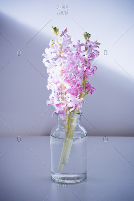 Pink hyacinth in glass vase
