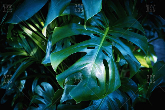 Leaves of a philodendron monstera