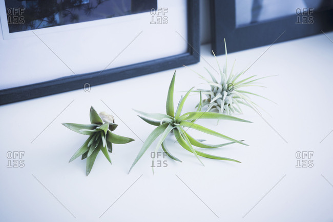 Three air plants on white
