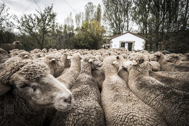 Flock of Sheep walking on footpath amidst trees against sky