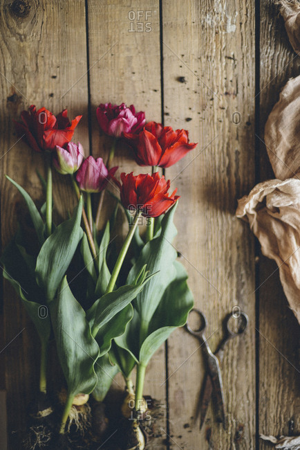 Overhead view of tulips with bulb by scissor on wooden table