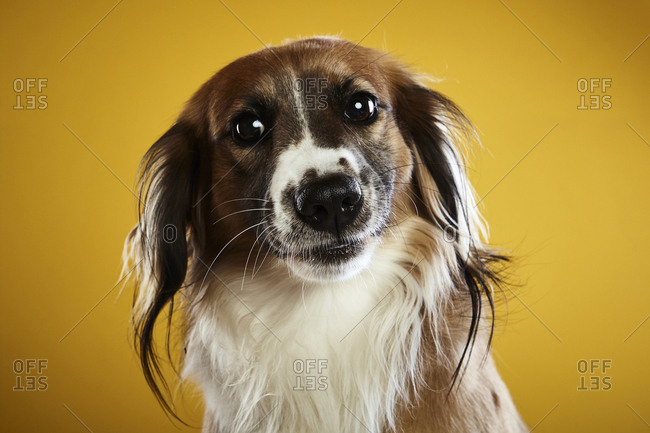 Close-up portrait of dog against yellow background