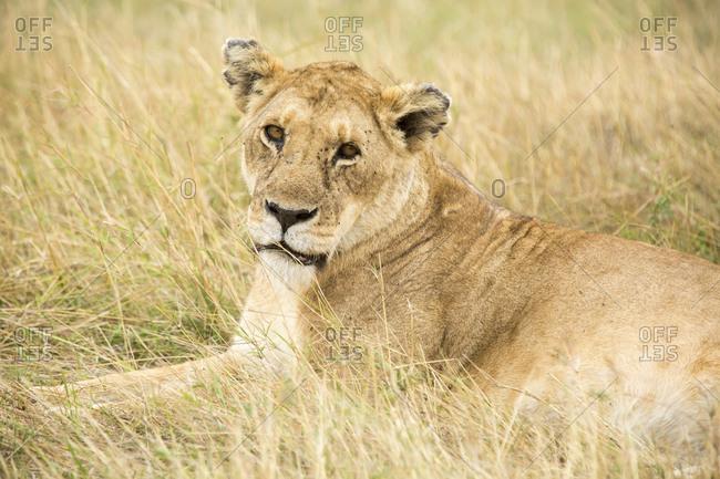 Portrait of lioness lying on grassy field