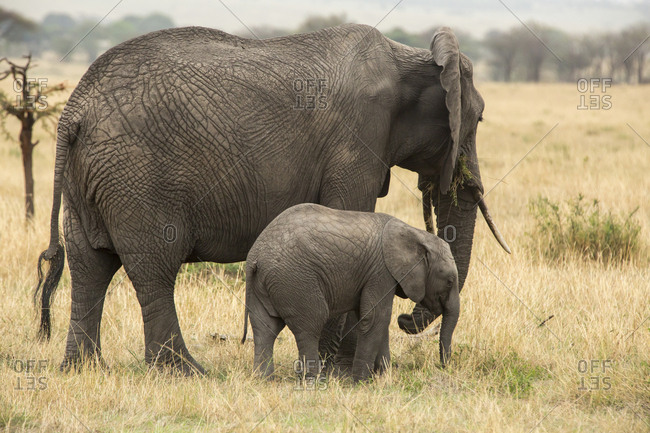 Side view of elephant and calf standing on grassy field