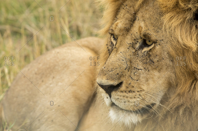 Close-up of lion lying on grassy field
