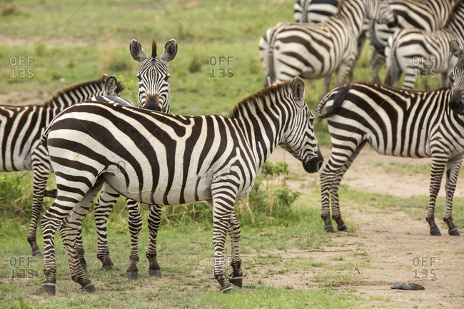 Zebras standing on grassy field