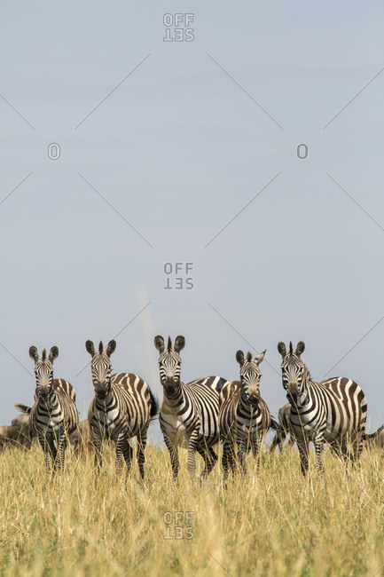 Zebras standing side by side on grassy field against clear sky