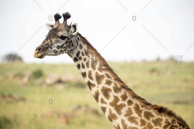 Close-up of giraffe on field