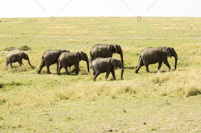 Elephants walking on grassy field