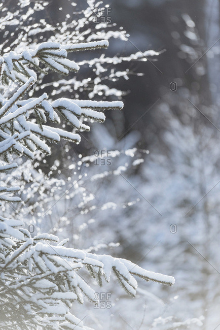 Branches of fir tree covered in snow