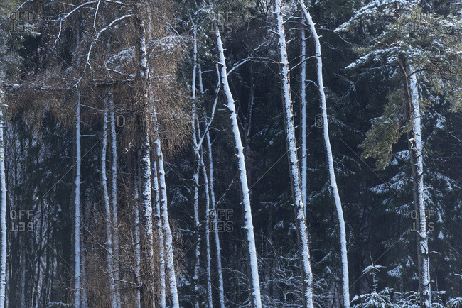 Pine tree trunks covered in snow
