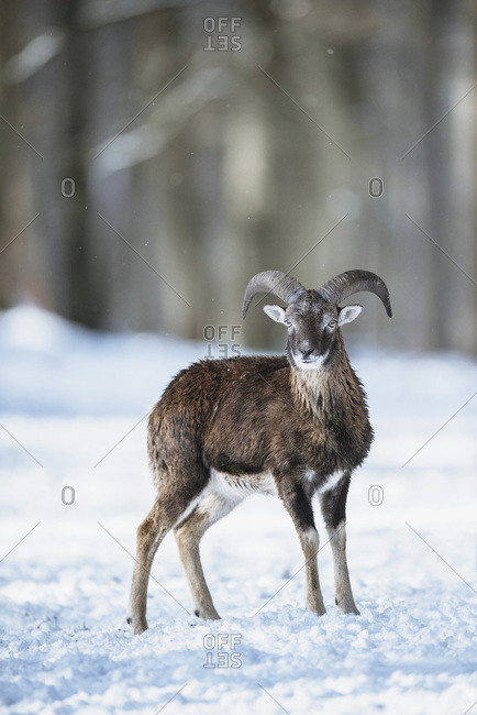 Mouflon (Ovis orientalis) standing alone in snow in winter forest