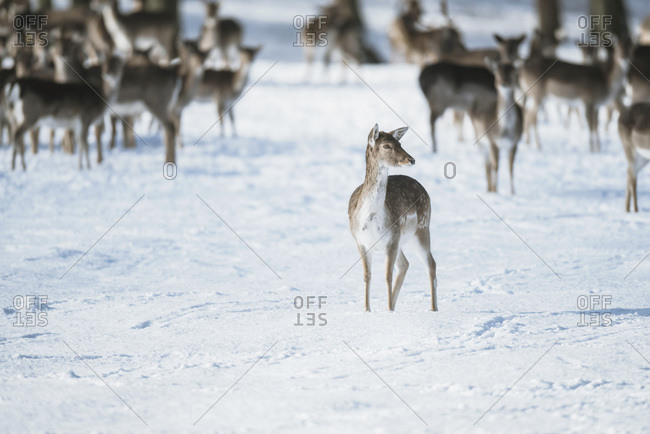 Large group of fallow deer (Dama dama) in snow with one standing isolated