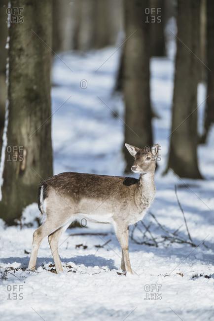 Female fallow deer (Dama dama) alone in snowy forest