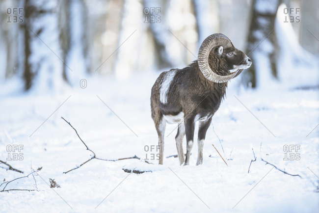 Solitary mouflon ram (Ovis orientalis) in snowy winter forest