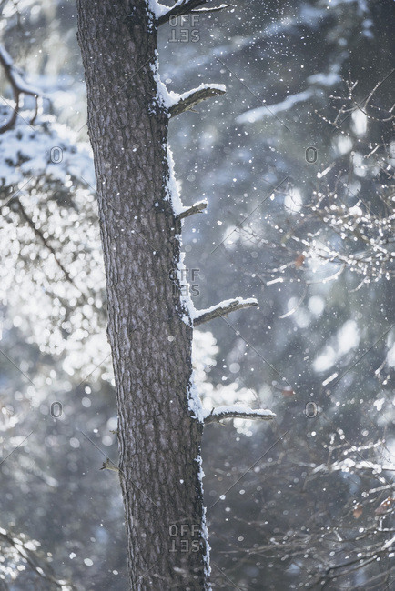 Tree trunk covered in snow with out of focus falling snowflakes