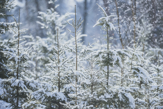 Fir trees covered in snow lit by sunlight