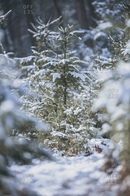 Fir trees in forest covered in snow Shallow depth of field