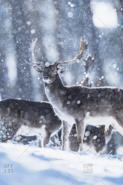 Fallow deer buck (Dama dama) in winter forest during snowstorm