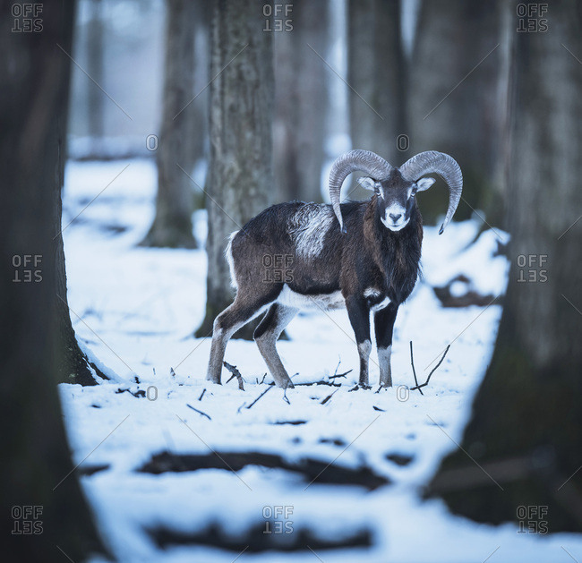 One mouflon ram (Ovis orientalis) standing in snowy winter forest