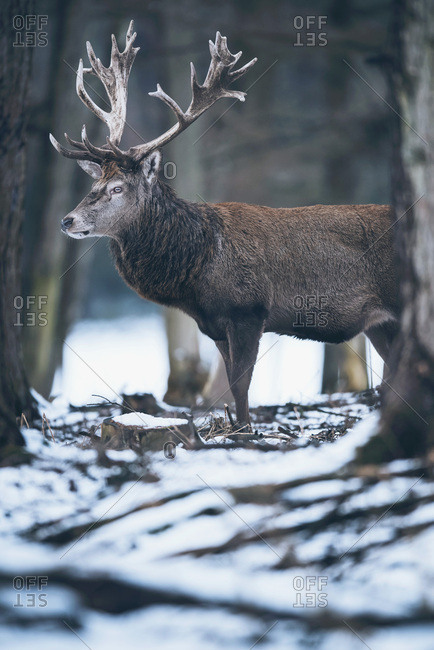 Male red deer (Cervus elaphus) standing in snow in winter forest