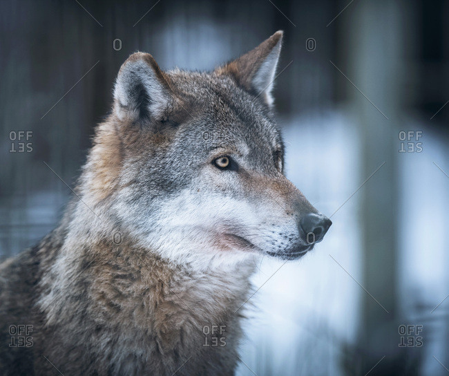 Eurasian wolf (Canis lupus lupus) in snowy forest