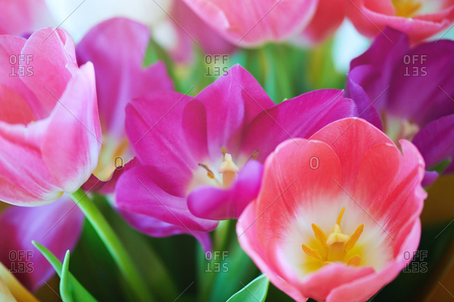 Bouquet of the tulip flowers