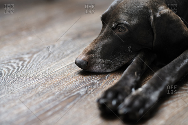 Dark brown German short haired pointer laying on the hardwood floor