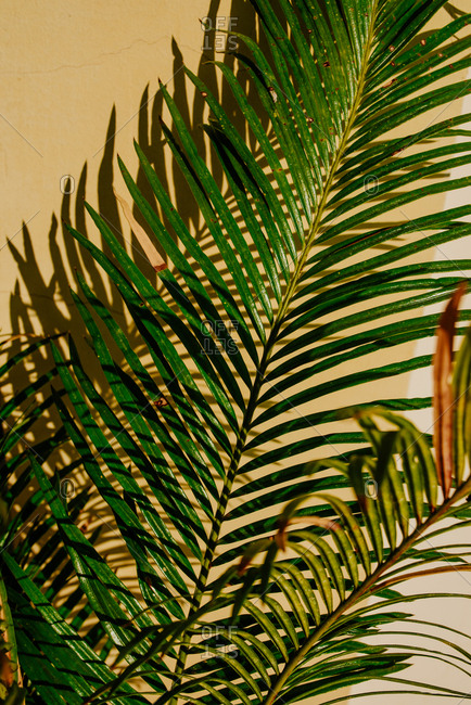 Close up shot of palm tree leaves on a yellow wall
