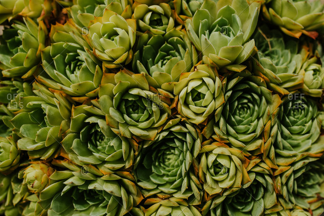 Close up shot of roof houseleek plant
