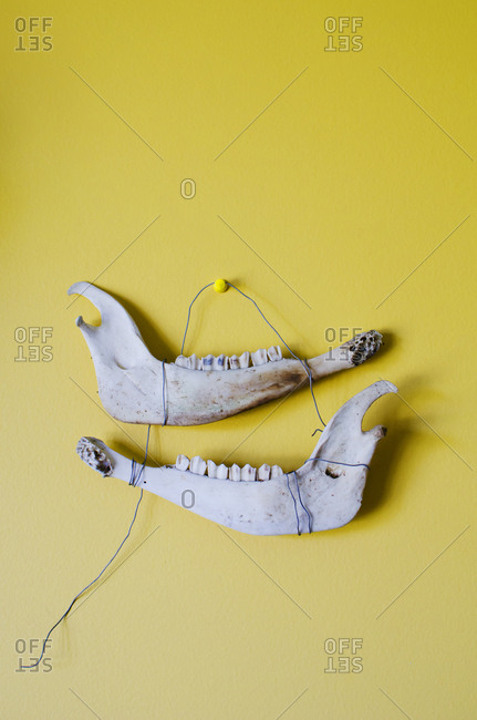 Jaw bones on yellow wall