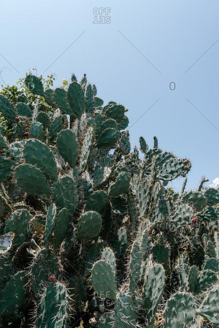 Spikey prickly pear cactus against blue sky