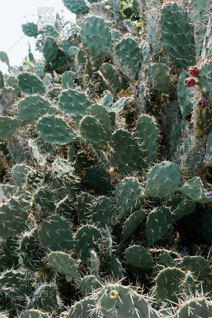Viciously spiked Opuntia ficus-indica cactus