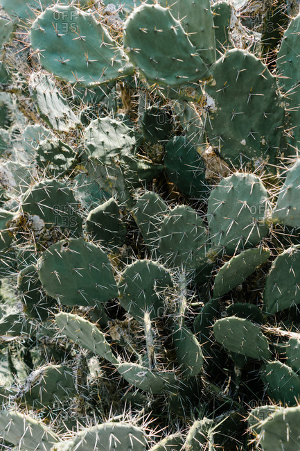 Viciously spiked prickly pear cactus