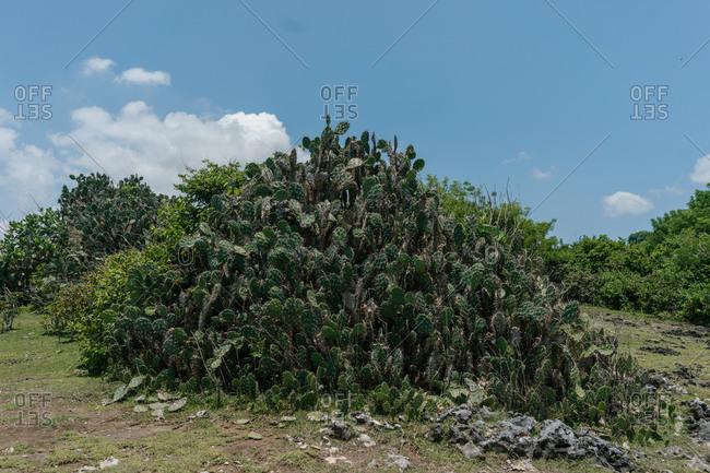 Giant Opuntia ficus-indica shrubs