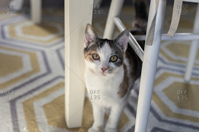 Portrait of a calico cat